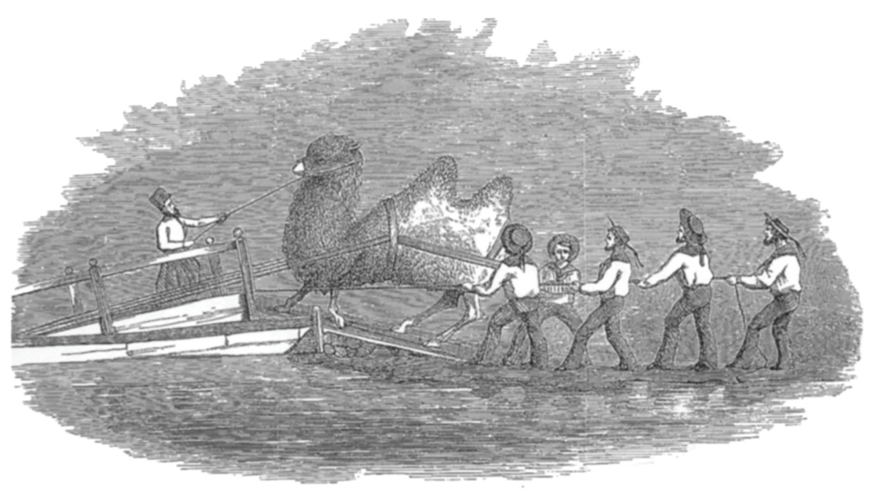 The embarkation of a Bactrian on the USS Supply. Since Artist Heap took the trouble to record the loading of this particular animal, it is possibly the gigantic Bactrian that required Lieutenant Porter to modify the Supply. (Drawing by G. Wynn Heap, artist with the first expedition to acquire camels from the Mid·East. From Reports Upon the Purchase, Importation and Use of Camels and Dromedaries, 1855-'56-'57.)