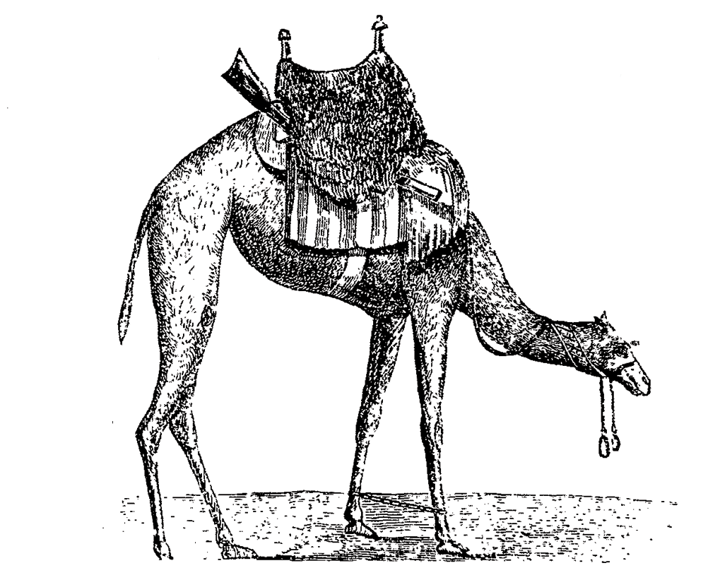A tethered camel cavalry mount with saddle. The camels were trained to keep their head in a lowered position to give the cavalryman an unrestricted range of movement and an unlimited field of fire. (Letter of W. Re Kyan Bey, Secretary to the Viceroy of Egypt to Edwin Deleon, U.S. Consul General in Egypt on the Treatment and Use of the Dromedary.)